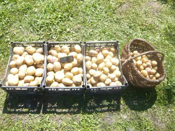 Количество картофеля с 5-ти метровой гряды, что соответствует урожайности более 54-х тонн с гектара