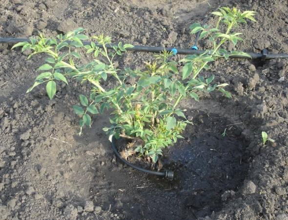 Регулируемая наружная капельница для полива куста розы